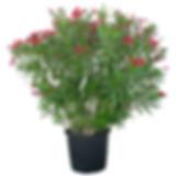 laurier fleur nerium oleander