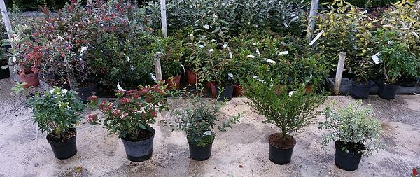 Plantes de haies