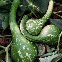 Dipper, gourd (1).jpg