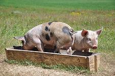 Porc sur paille.jpg