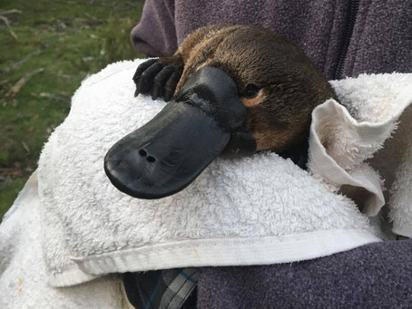 Calls for National Action to Minimise the Risk of our Unique Platypus Becoming Extinct