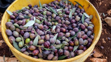 Rediscovering Israel's ancient olive industry