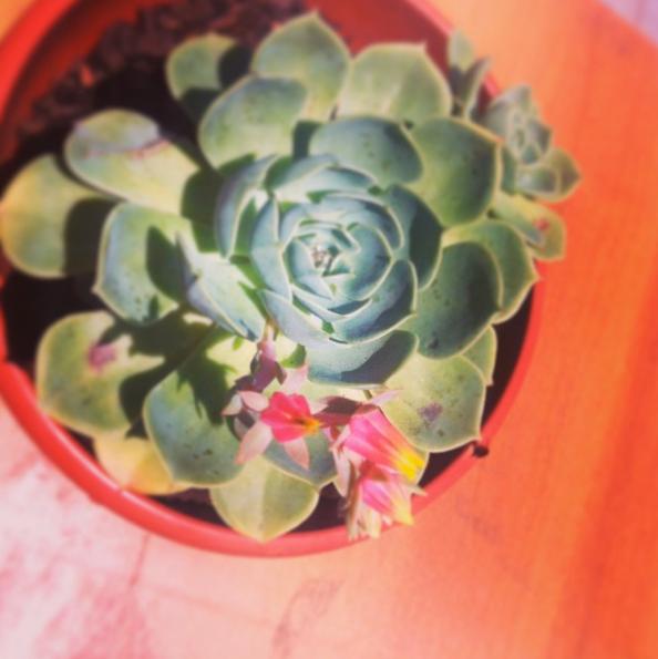 Planta Suculenta