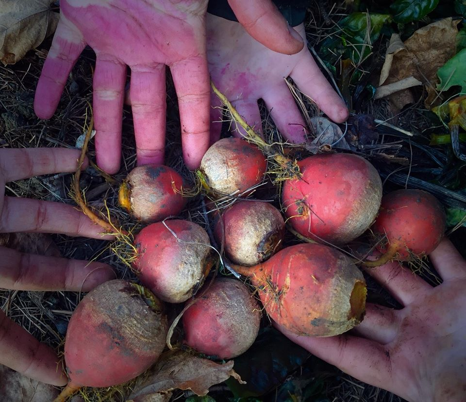 Harvesting beets in the autumn.