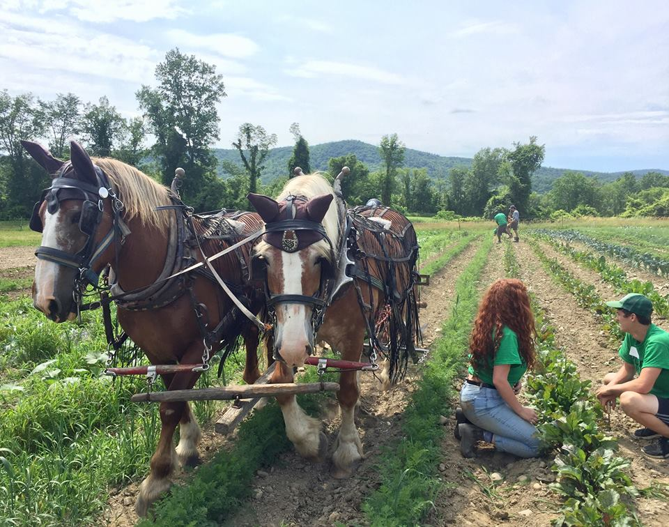 Draft horses cultivate nearby rows.