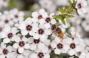 Honey Bee on Manuka flower collecting po