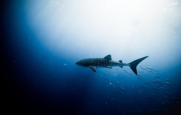 Dominica - plankton eaters