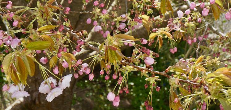 Cherry Blossom Banner.jpeg