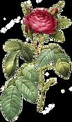 rosavermelha.png