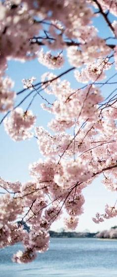 cherry-blossms slice.jpg