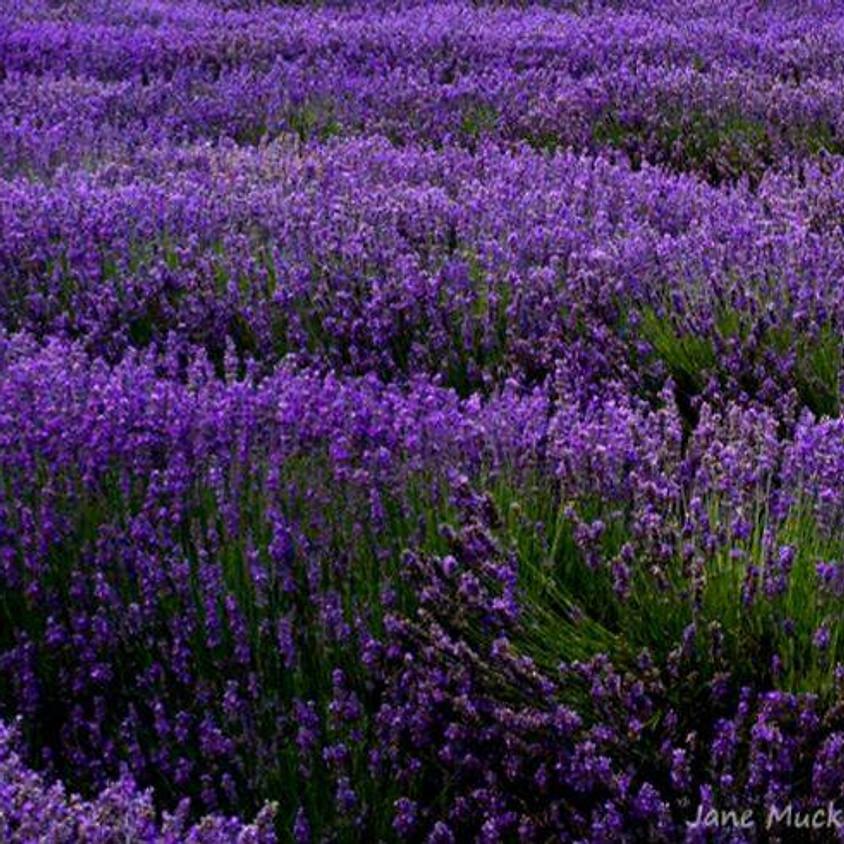 Happy Valley Lavender Festival