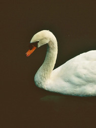 114  Swan with Fish, Japan.JPG