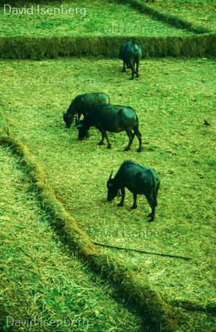 Water Buffalo, Thailand