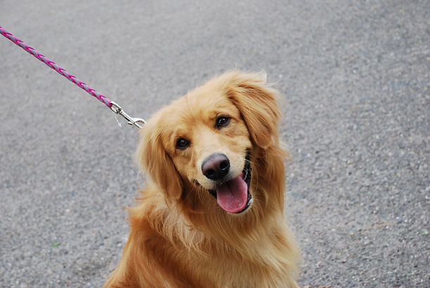 Cute golden retriever dog