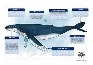 Anatomy of a humpback whale.jpg
