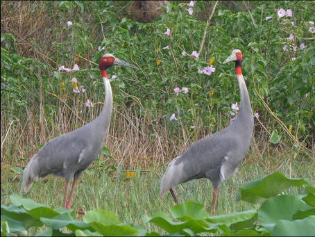 Sarus Cranes, Valentine's Day and Love stories.
