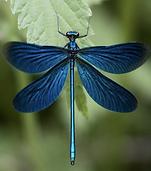 À la découverte des plus belles libellules de France !.png