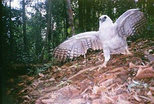 Harpi Eagle