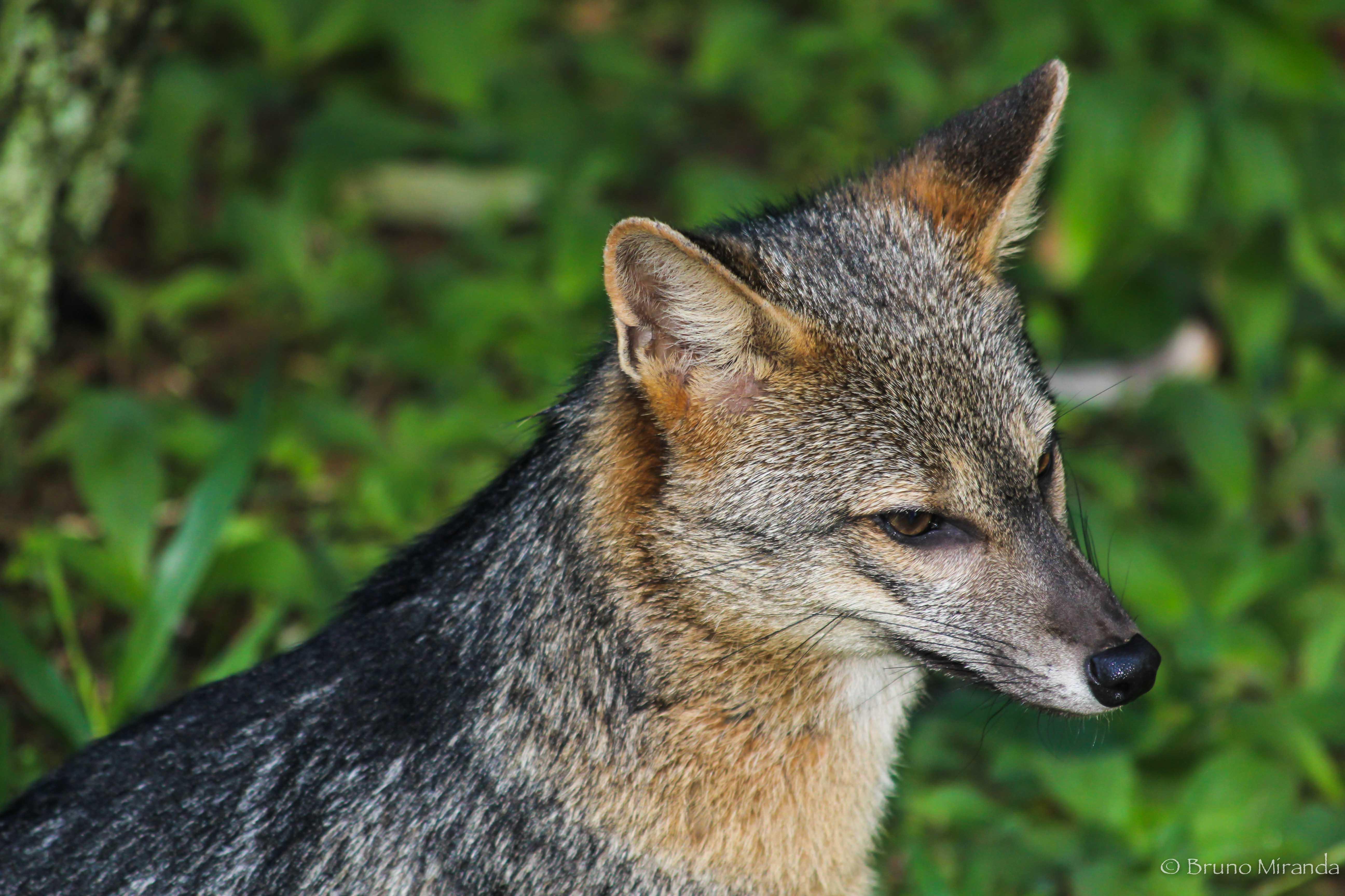 male fox profile 02.jpg