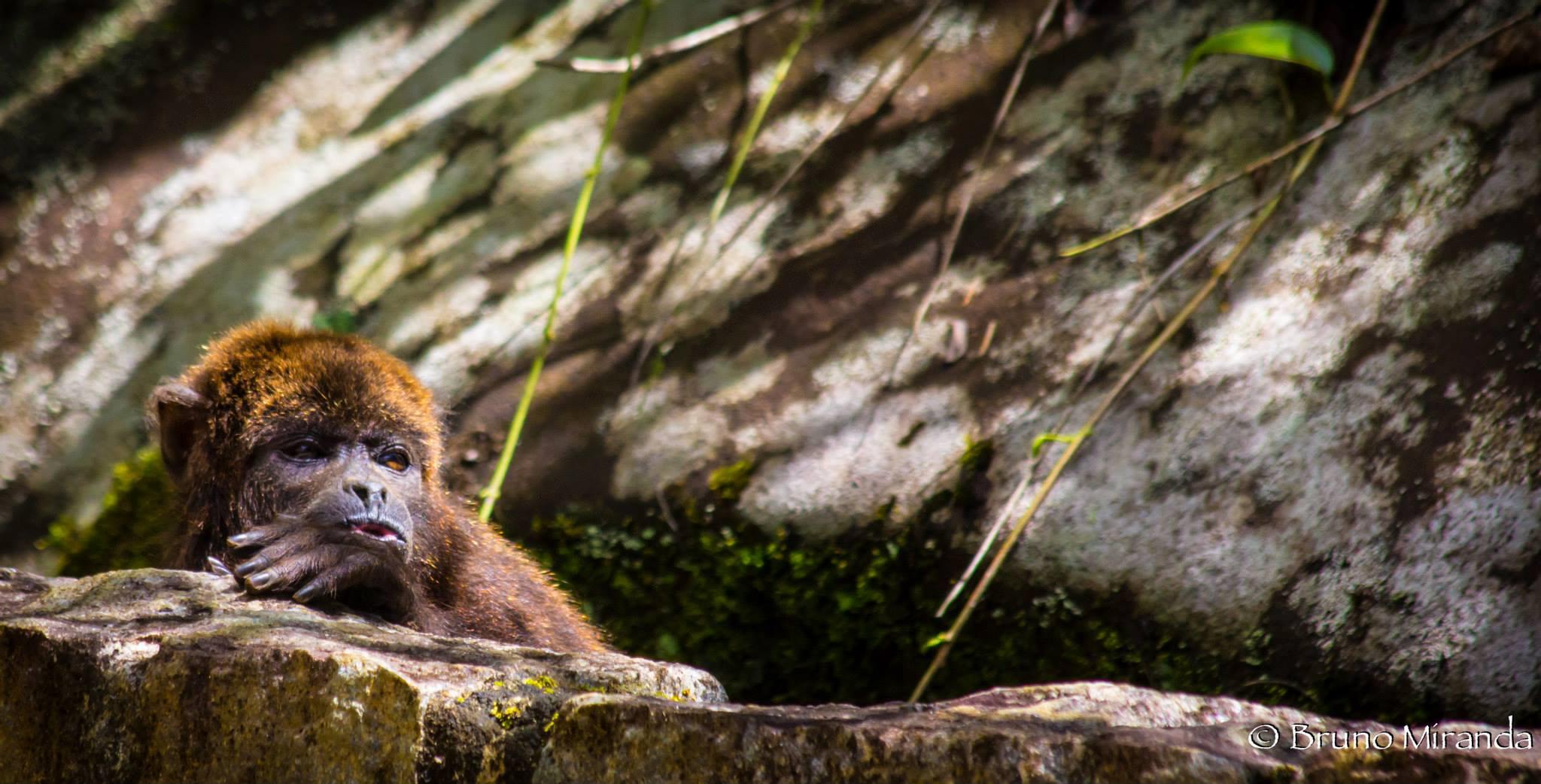 male 02 brown howler_.jpg