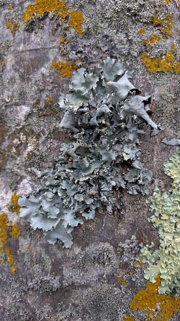 Lichen, Quiberon, 2018