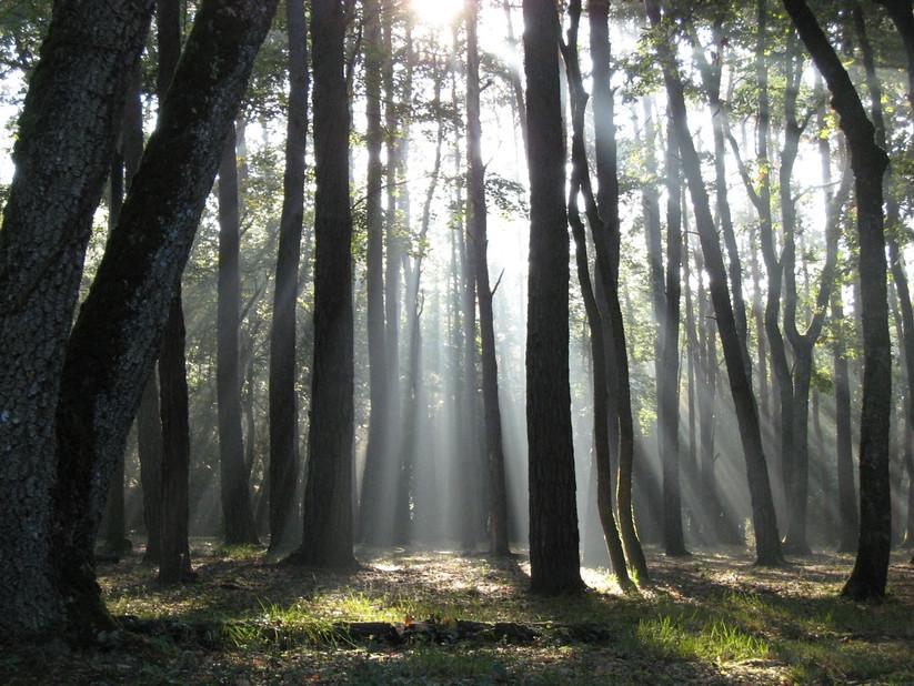 Forêt au matin, à l'est de Poitiers, 2007