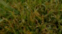 Lawn Disease.jpg