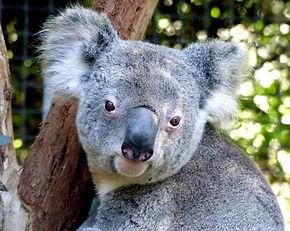 koala-1757179_1920.jpg