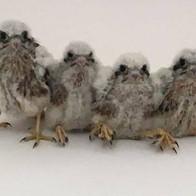 Baby Kestrels