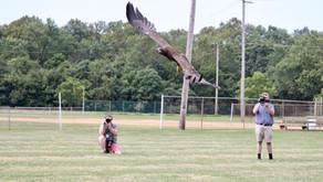 Juvenile Bald Eagle Released