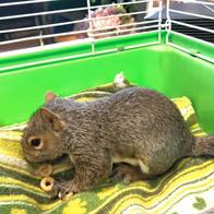 Juvenile Squirrel