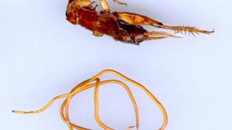 Gordius aquaticus