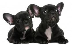 French-Bulldog-Puppies-4.jpg