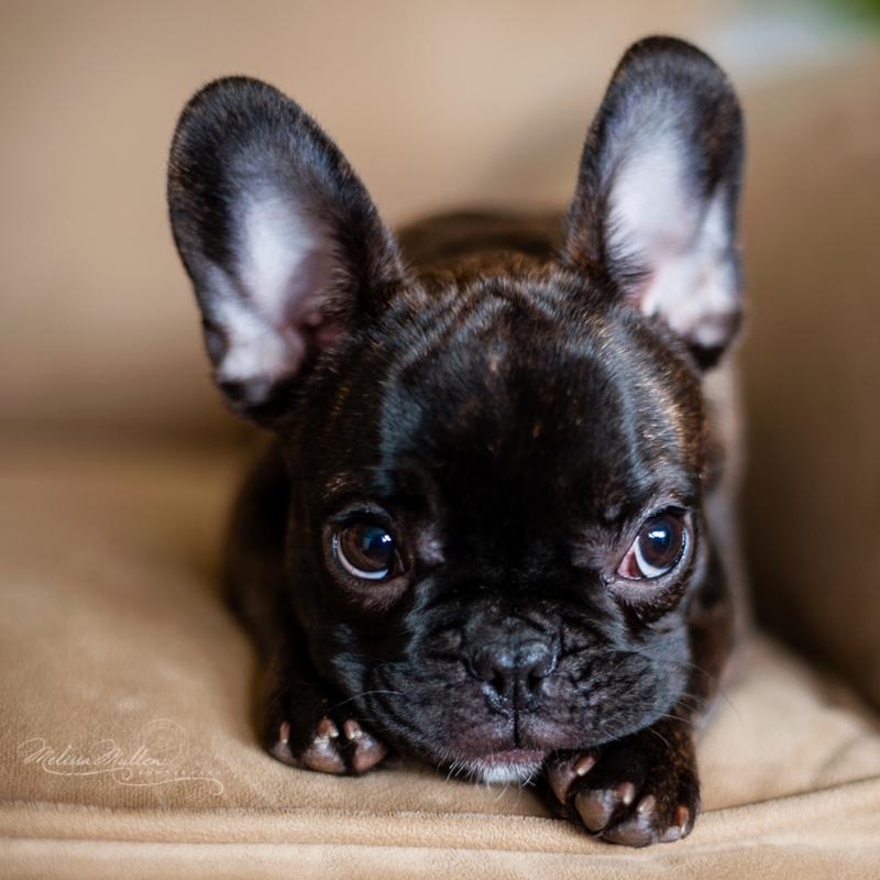 french-bulldog-puppy-portrait-melissa-mullen01.jpg