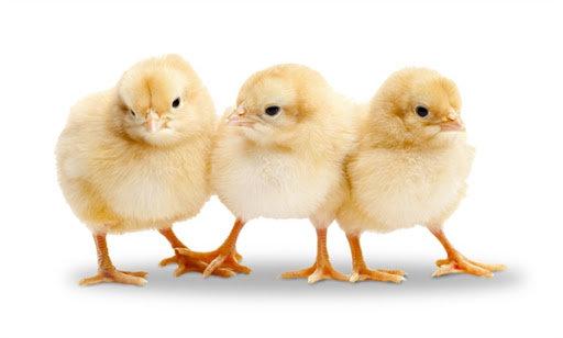 Whole Baby Chicks & Quail