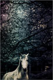 Majestic white horse dream