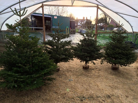 Pick your own Christmas Tree on our farm in Shrewsbury