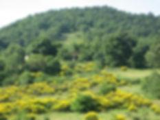 Ginestre in fiore a Monte Sorbo