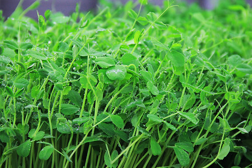 Sweet Pea Microgreens