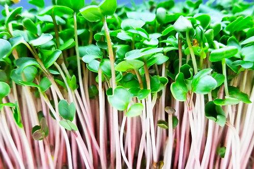 Radish Microgreens