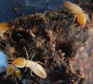Coptotermes spp. soldier termite