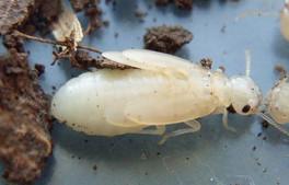 Schedorhinotermes spp. immature alate