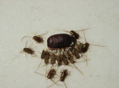 Periplaneta spp. cockroach hatchlings