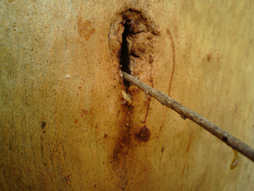 Coptotermes spp. flight cut in Eucalyptus tree