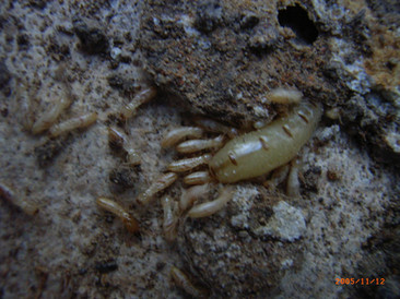 Heterotermes spp. termite queen
