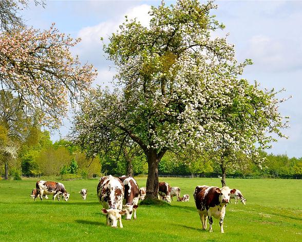 48 vaches sous pommier en fleurs_edited.