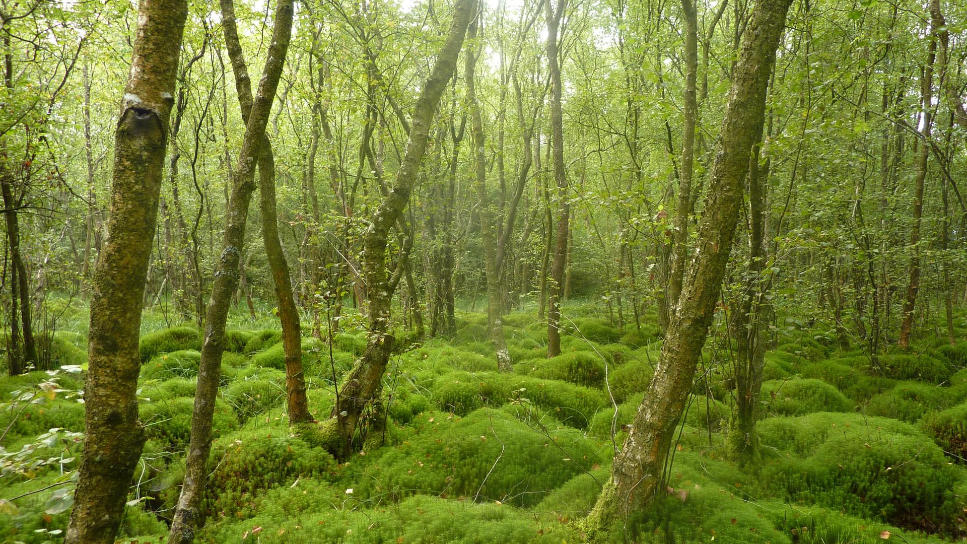 Bouleau_et_buttes_de_Polytric_forêt_de_B