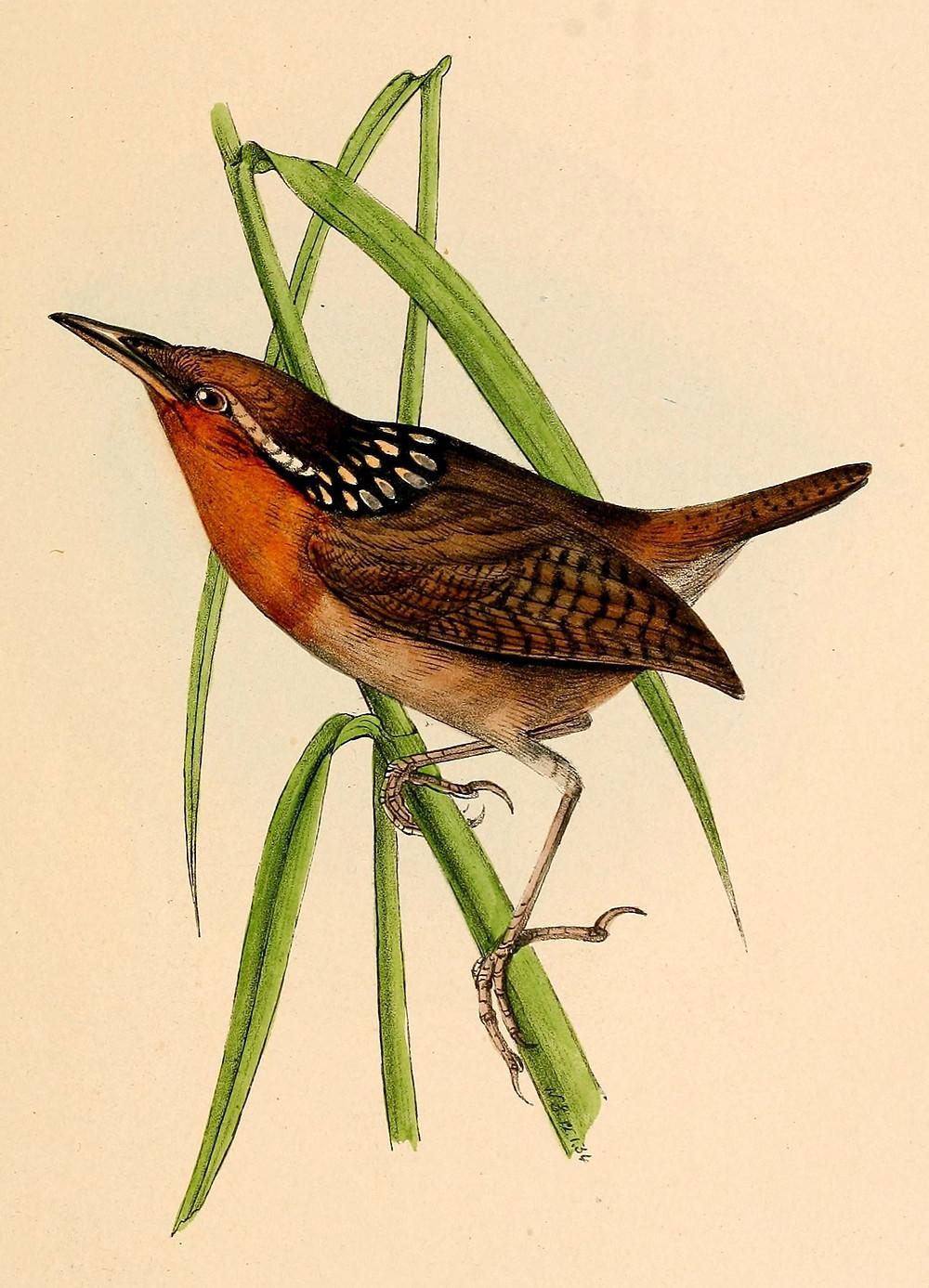 Cyphorhinus_arada_1841