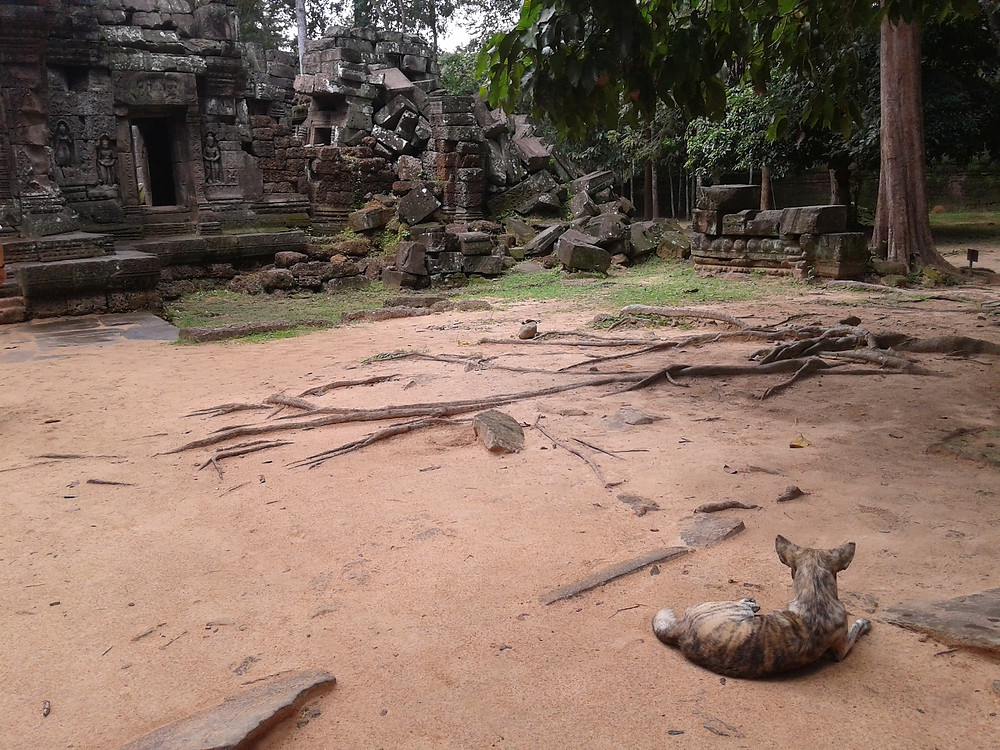 Angkor Wat świątynia bezdomny pies dżungla