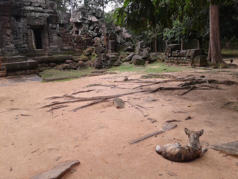 Pies w Angkorze